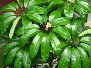 Schefflera arboricola 'Miniature Umbrella Tree'