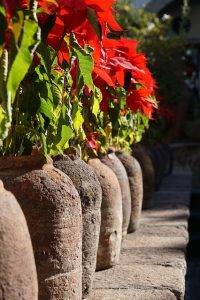 Christmas Plants in Pots